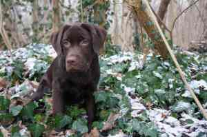 labrador-retriever-1