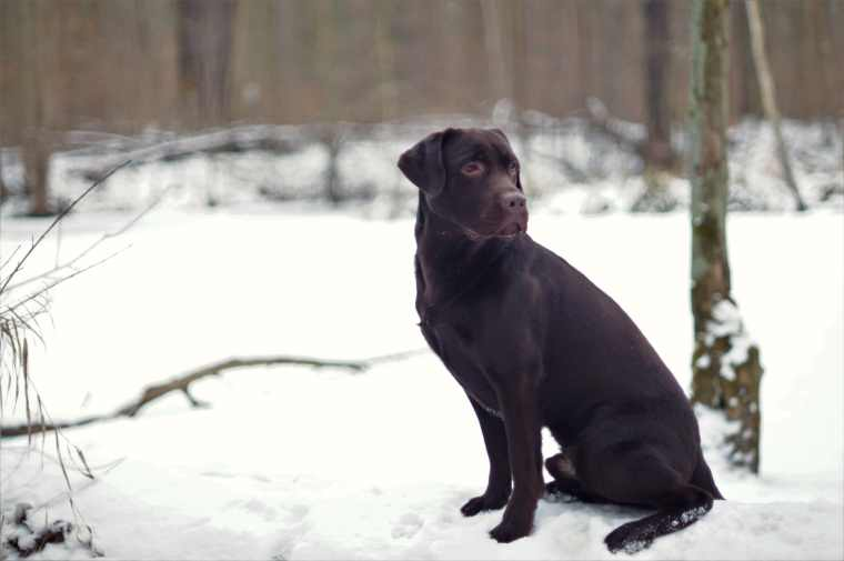 labrador-retriever-5